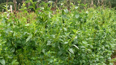 Photo of Permaculture Main Crops of Special Importance – Salad Mallow