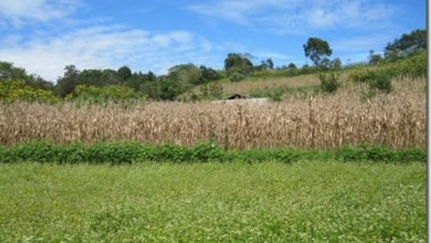 Photo of Agroforestry Support Species for Cold Climates