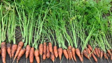 Photo of PRI Zaytuna Farm – Main Crop Carrots