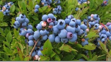 Photo of Summer Berries in a Humid Cold Temperate Climate (USA)
