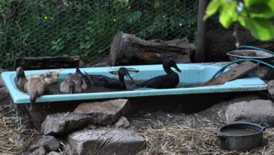 Photo of Ducks in a Permaculture System (Scotland)