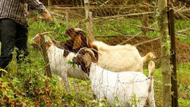 Photo of Reforesting With Goats