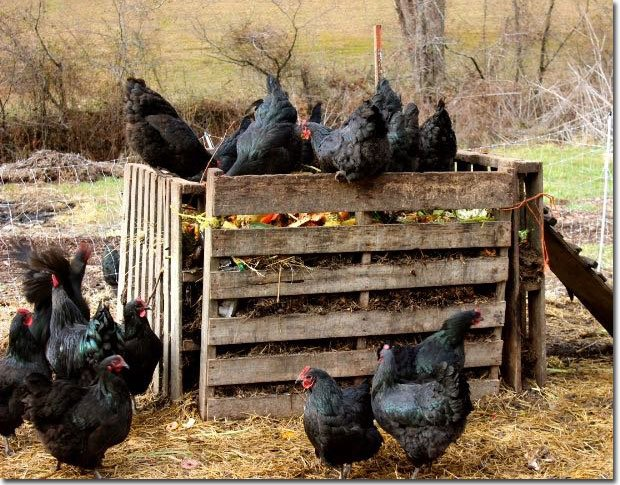 Chickens-on-bin