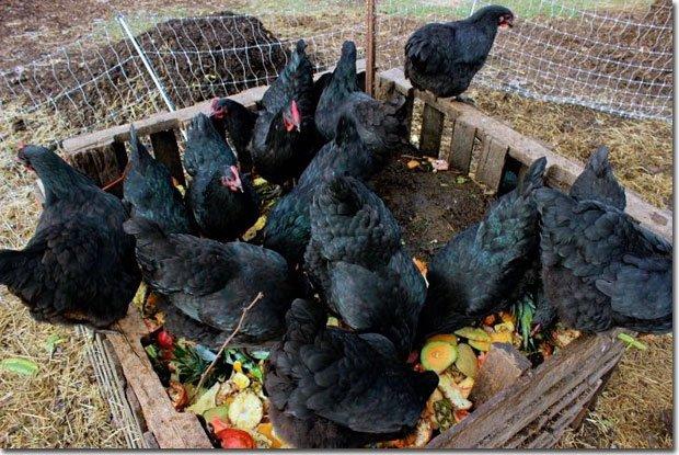 Chickens-on-scraps