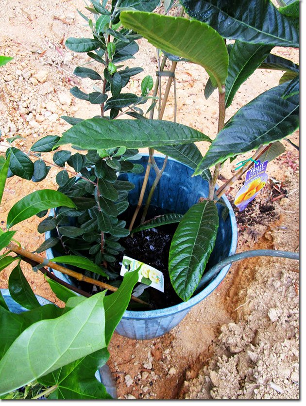 5Some-of-the-trees-soaking-in-a-bucket-filled-with-water-before-planting