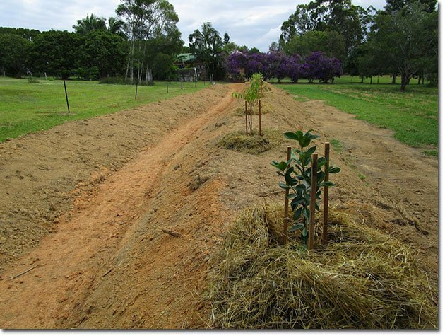 6The-trees-planted-out-on-the-swale-mount-and-mulched