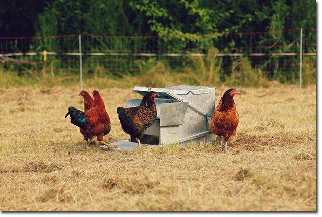 Hühnerfutterautomat