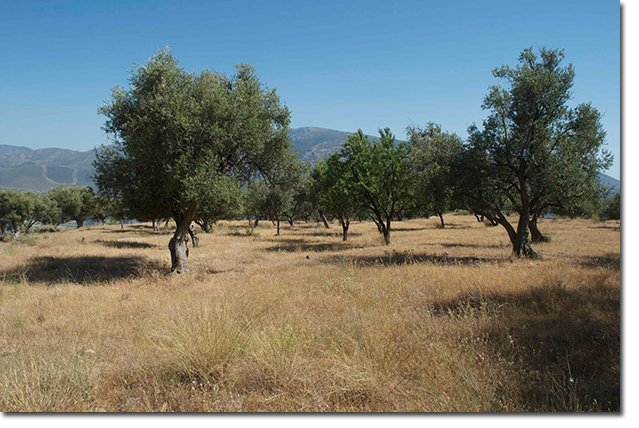 Cultivated-mountain-side-with-olive-trees.-Photo-by-David-Ashwanden