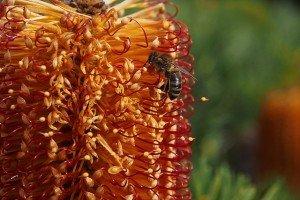 Hairpin Banksia