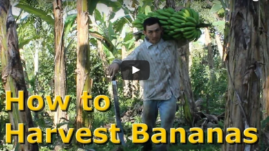 Photo of How to Harvest Bananas in a Permaculture Food Forest
