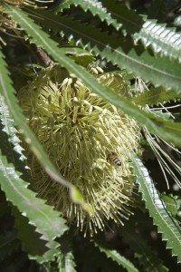 Showy Banksia
