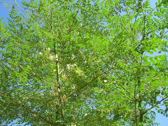 Moringa in the Sky (Courtesy of Forest and Kim Starr)