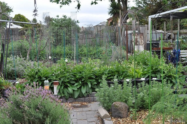 Comfrey in the Garden (Courtesy of Graibeard)