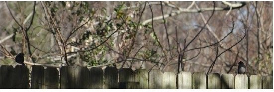 Unidentified avian couple on the back fence. December 18th, 2013