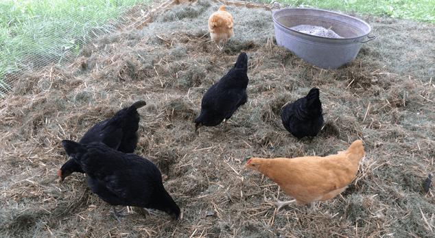 Feeding-Backyard-Chickens04