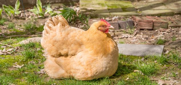 Feeding-Backyard-Chickens41