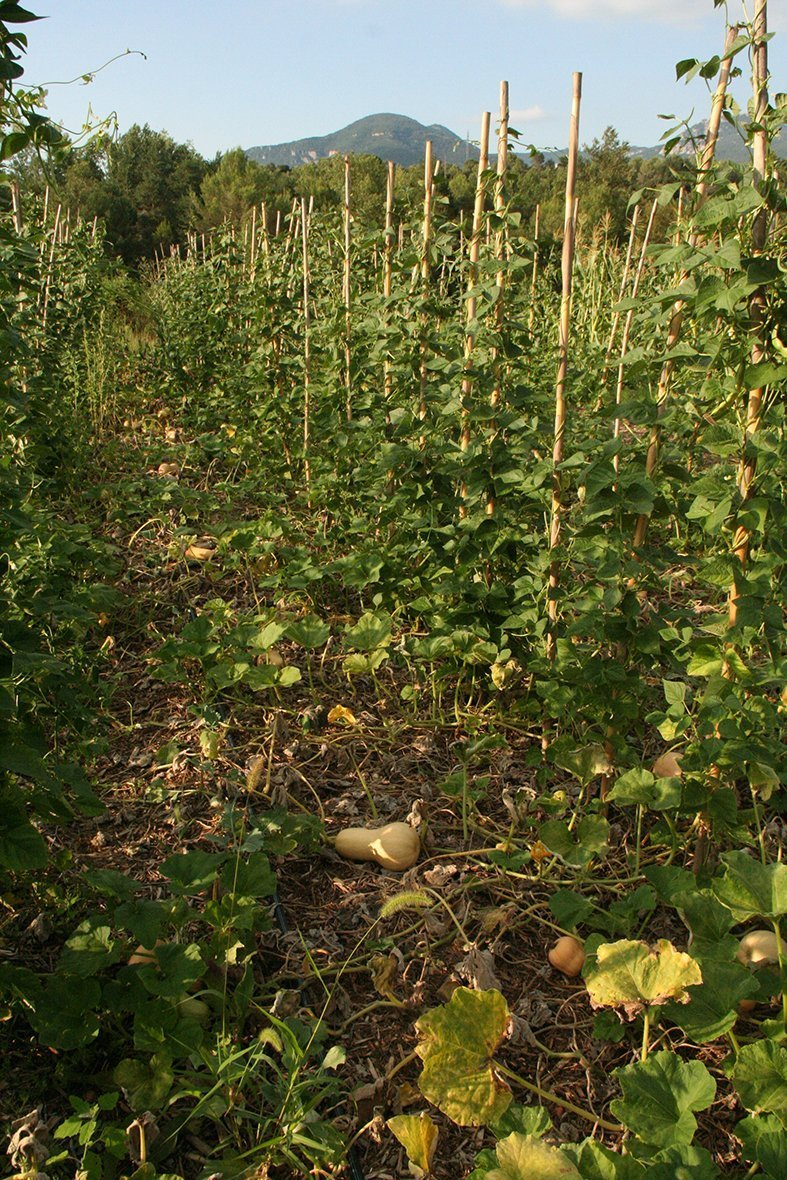 Vegetable production at Planeses