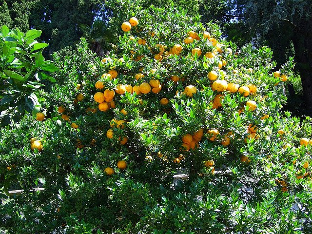 Orange Tree (Courtesy of David Spender)