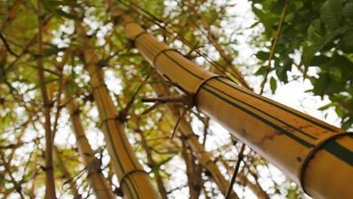 Photo of Facts that Expound more on what Constitutes of Bamboo
