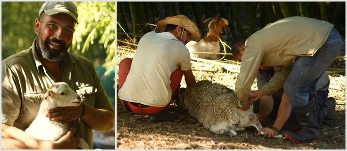 Goats-at-zaytuna-farm