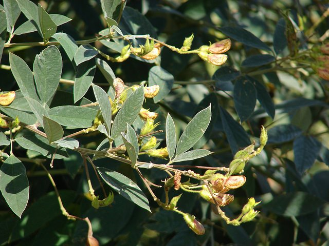 Photo: Pigeon Pea (Courtesy of Forest and Kim Starr)
