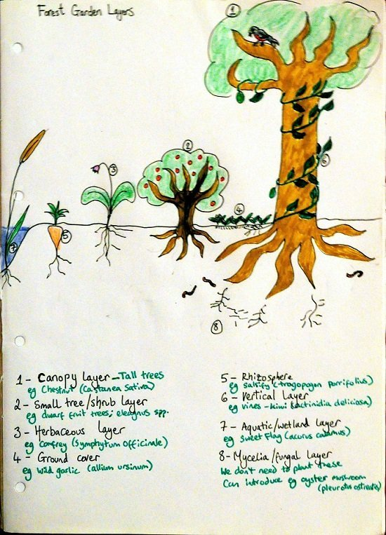 Layers of a food forest. Drawing by Charlotte Haworth.