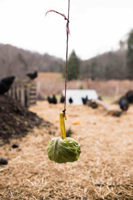 Hanging cabbage is just one of the many creative (winter) feed sources I talk about in the film.