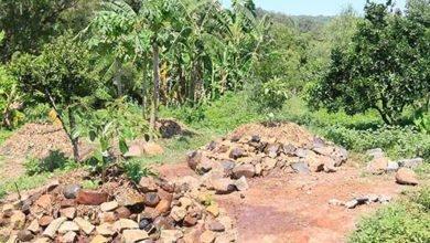 Photo of Avocanoes at Zaytuna Farm