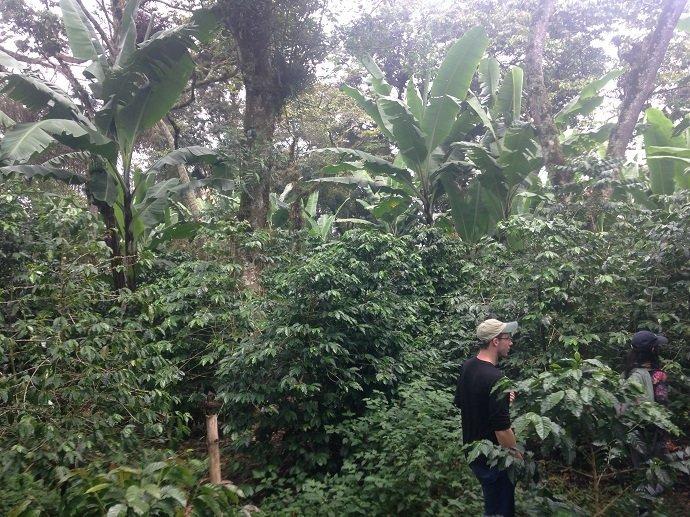 Bananas and coffee under nitrogen-fixing Trema overstory. Veracruz, Mexico.