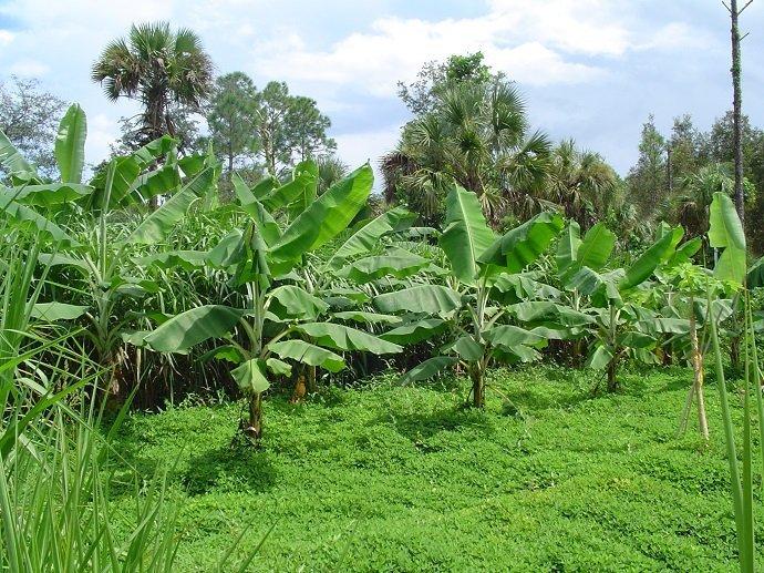Bananas with understory of nitrogen-fixing, shade-loving perennial peanut. ECHO, Florida, USA.