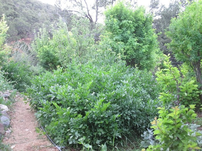 Food forest with apple, pear, stone fruits, lovage, and comfrey, intercropped with Siberian pea shrub as coppiced nitrogen-fixer. Central Rocky Mountain Permaculture Institute, Colorado, USA.