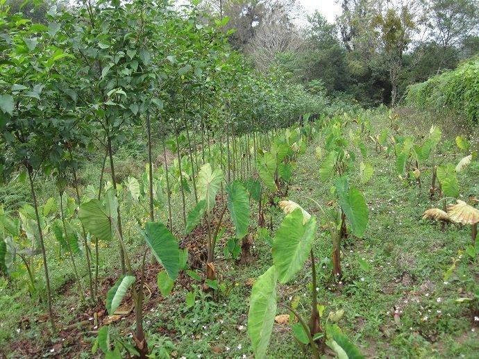 A contour line of alders intercropped with annuals (here a tuber crop of taro). Las Cañadas, Veracruz, Mexico.