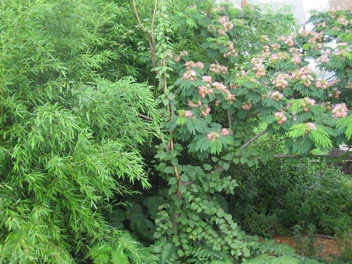 Silk-tree mimosa serving as trellis for arctic kiwifruit. Paradise Lot, Massachusetts, USA.