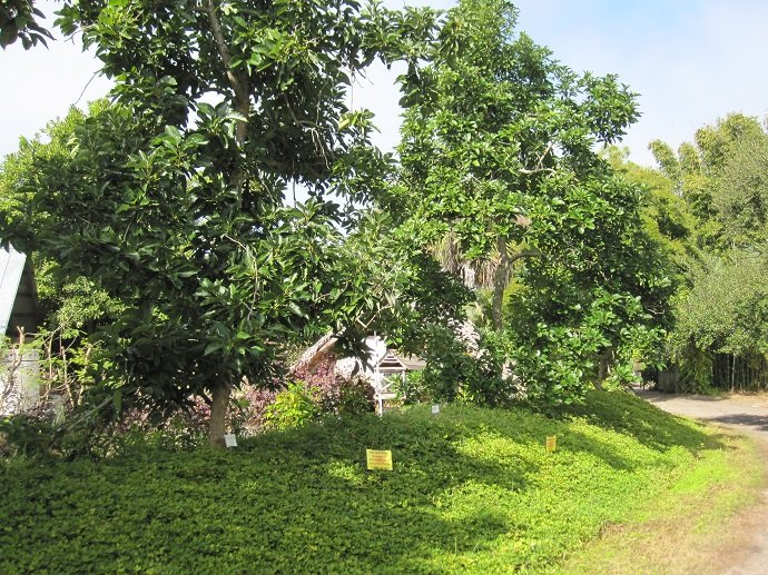 Figure 6. These avocado trees have a nitrogen-fixing understory of forage peanut, which is quite tolerant of shade.
