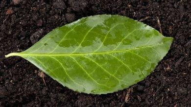 Photo of Green Leaf Manure – A Useful Organic Manure