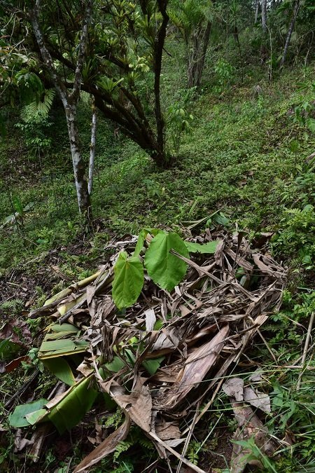 Banana trunks and leaves placed in a donut around the young tree.