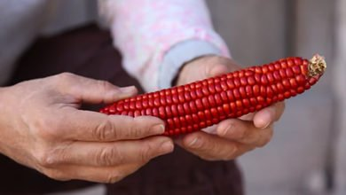 Photo of 3 Types Of Tarahumara Indian Corn And What They Are Used For