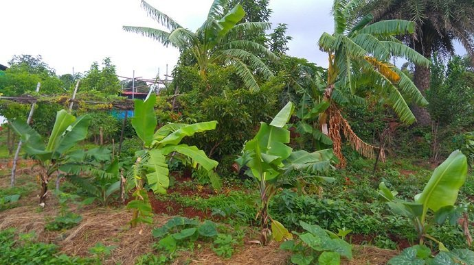 Bananas and other plants fed by manured water