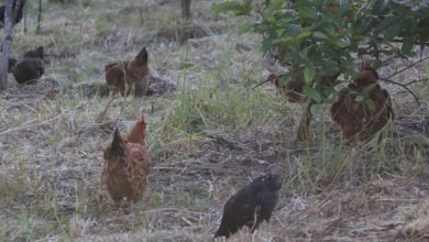 Photo of Poultry Litter – A Great Resource to Utilize