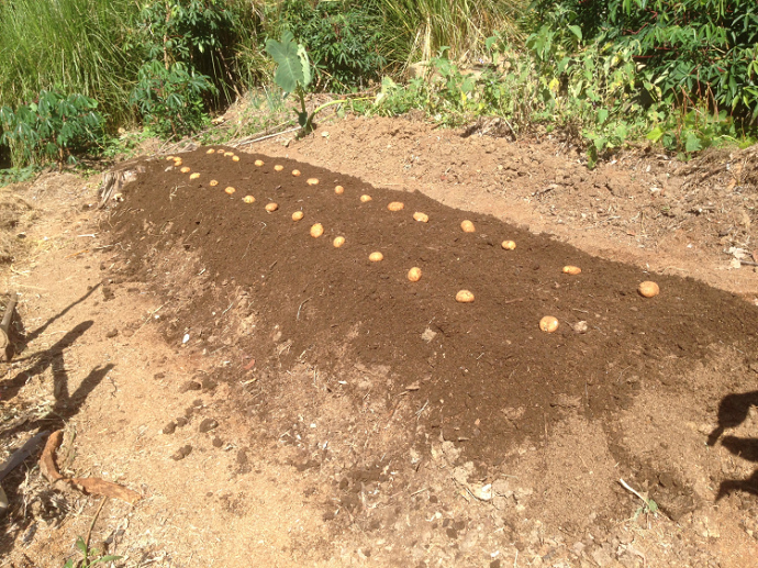 The potatoes spaced ready to be buried.