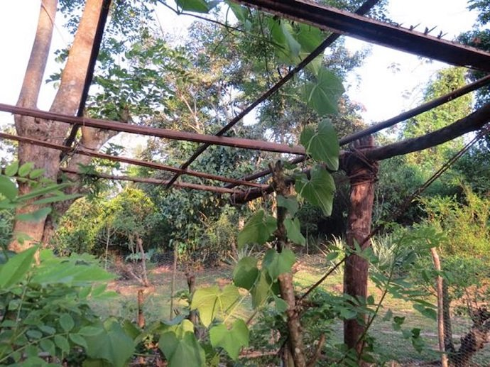 Young Chayote Vine Reaching Roof Level (Emma Gallagher)