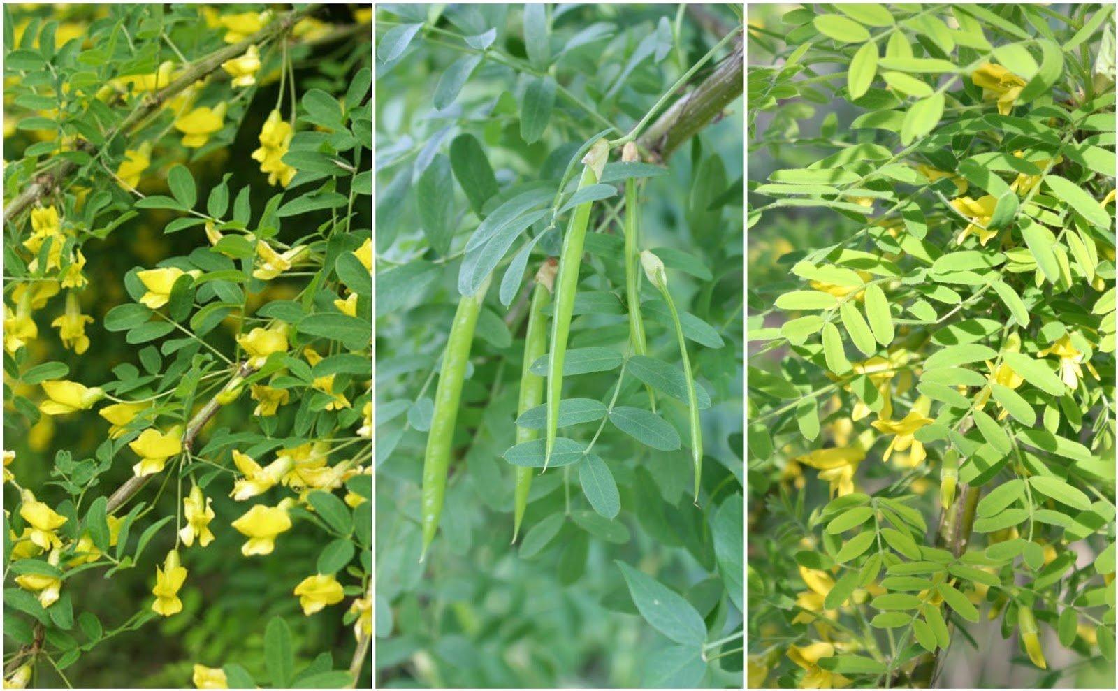 Permaculture Plant - Caragana arborescens.