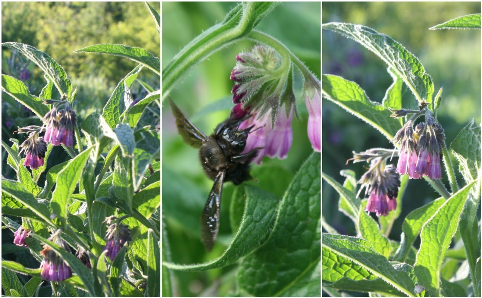 Permaculture Plant- Comfrey - Symphytum x uplandicum 'Bocking 14'.