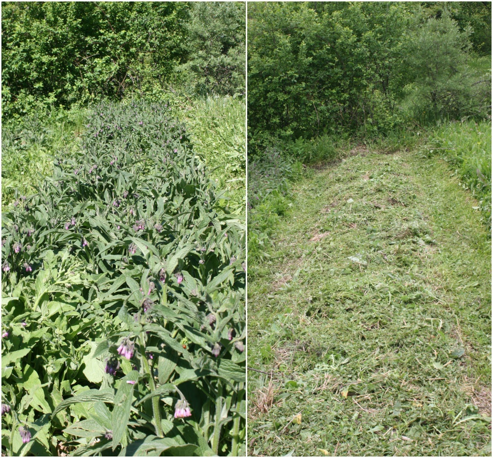 One of our comfrey beds before and after the first cut of 2016.