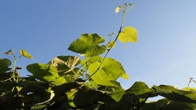 Photo of 10 Edible Perennial Vines for Vertical Gardening