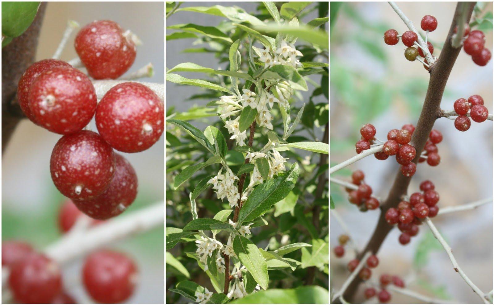 Permaculture Plant - Elaeagnus umbellata.