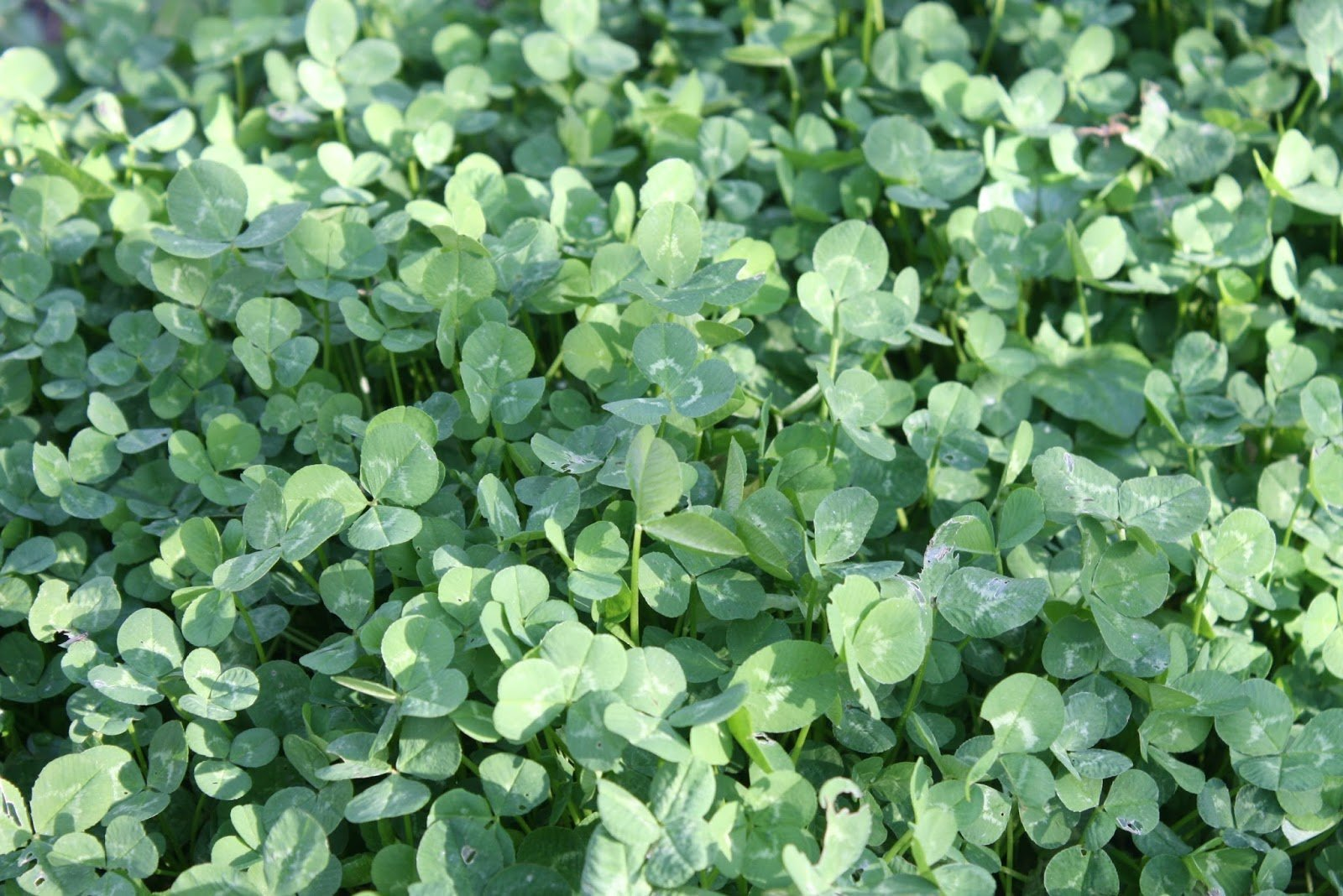 White Clover - Trifolium repens under the shade of a Walnut tree in our forest garden four months after sowing.
