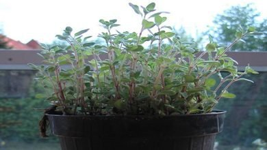 Photo of 8 Common Plants to Grow for Their Medicinal Benefits (All Great for Indoor Container Gardens)