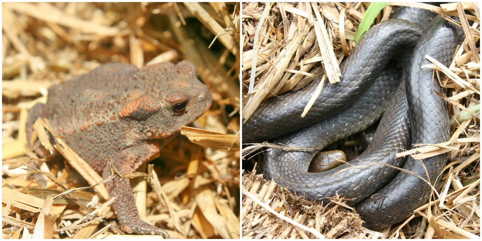 Common Toad - Bufo bufo and Aesculapian snake - Zamenis longissimus photographed within one of our Straw bale stacks.