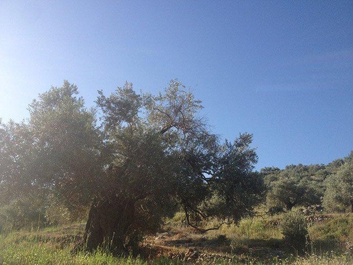 Centuries old olive tree in Palestine.